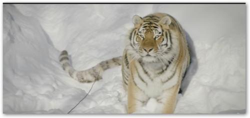 Амурские тигры охотятся за дроном