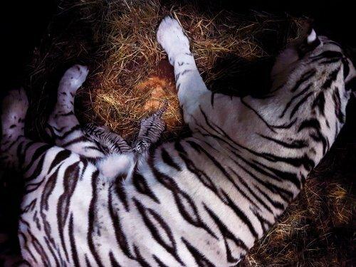 В Московском зоопарке родились редчайшие белые тигрята