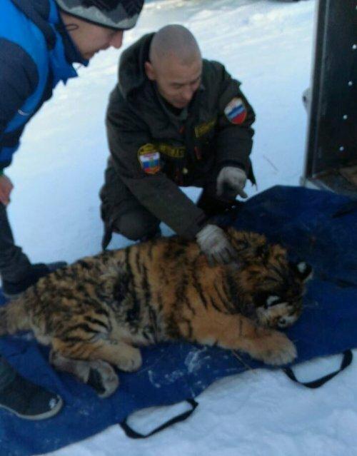 В Приморье раненый браконьерами тигренок идет на поправку