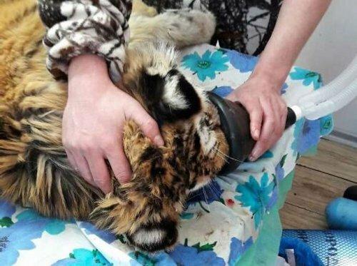 Раненый в Приморье тигренок поправляется после операции