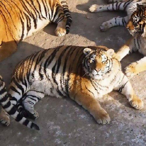 """Китай удивил мир тиграми - """"колобками"""""""