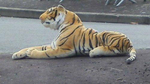 "Осиротевших тигрят спасла плюшевая ""мама"""