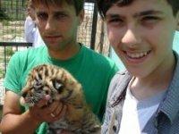 Парк амурских тигров планируют создать в Крыму